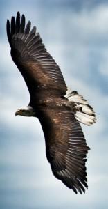Adler auf der Falkner-Schau auf der Rosenburg.