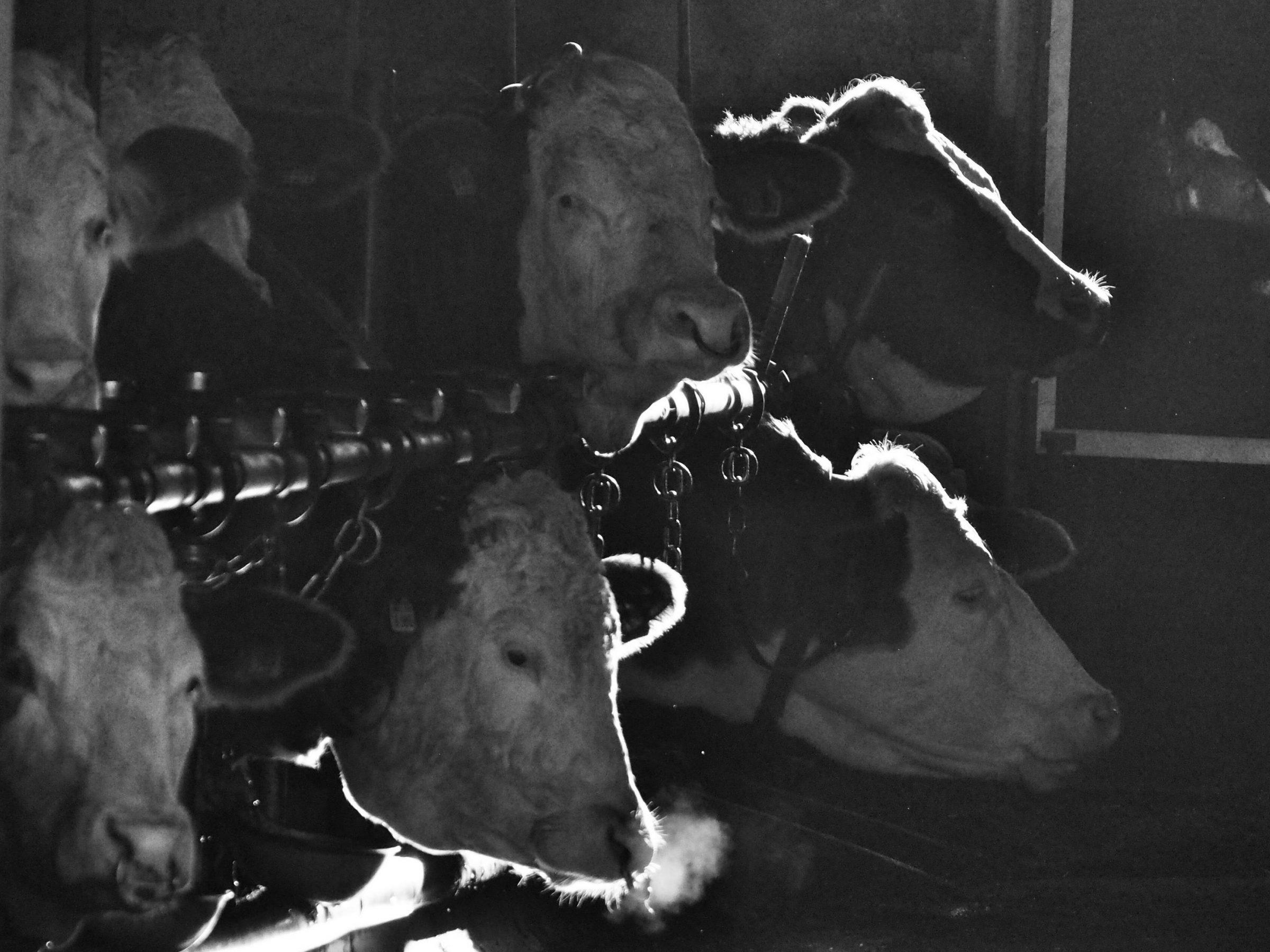 Kühe zu Neujahr im Stall