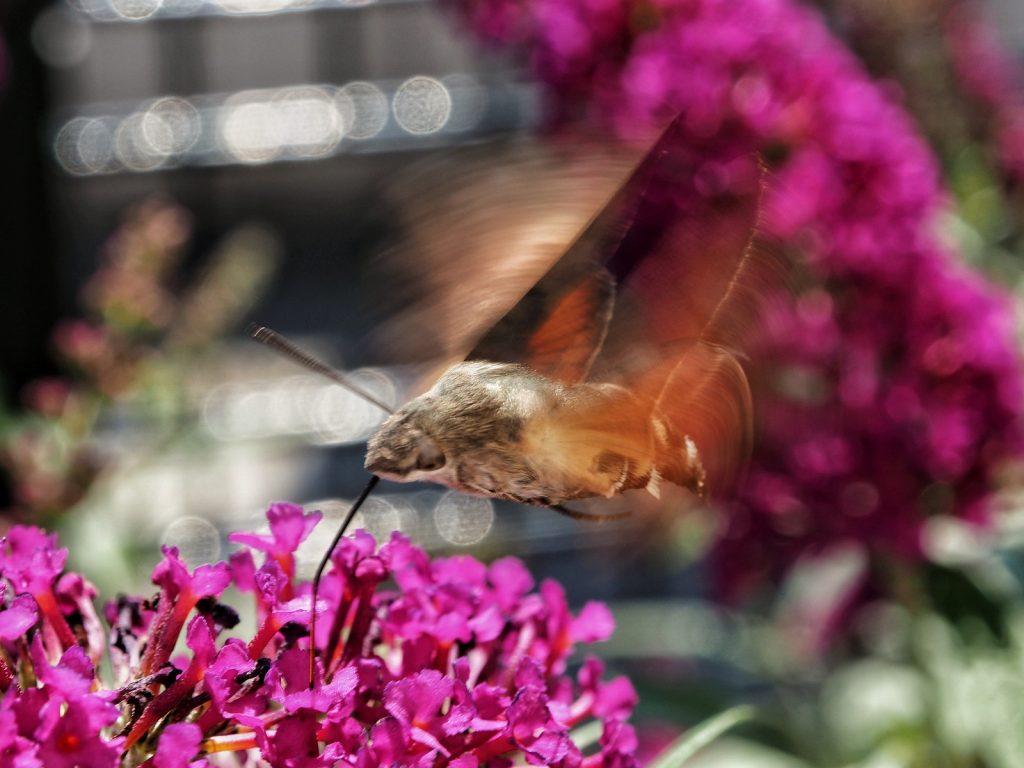 Das Taubenschwänzchen oder den Schmetterlingskolibri mit dem Kit-Makro erwischt: ISO 200, 1/160, F8, 43mm